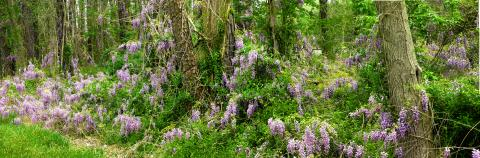 A beautiful spread of lilacs along the roadside, the aromatic fragrance is almost enchanting.